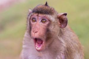"shutterstock / Sarawut Aiemsinsuk - ""monkey"""
