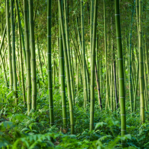 Photo credit: Bamboo forest // ShutterStock