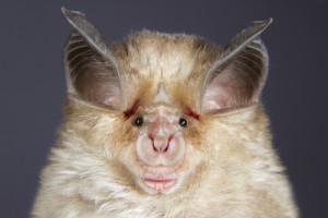 Photo credit: Mediterranean horseshoe bat (Rhinolophus euryale) portrait  // ShutterStock
