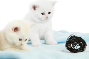 shutterstock/kagnaz: two kittens playing with a wicker ball