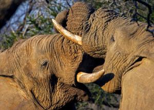 Photo credit: Two elephants fighting // ShutterStock