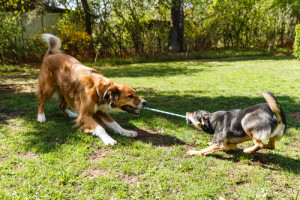 Photo credit: Dogs Playing Game Zerr // ShutterStock